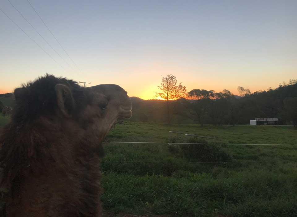 Camel Dawn