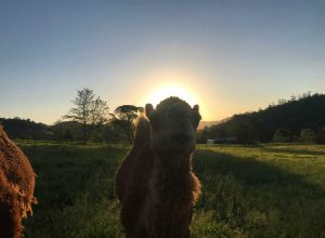 Camel Sun